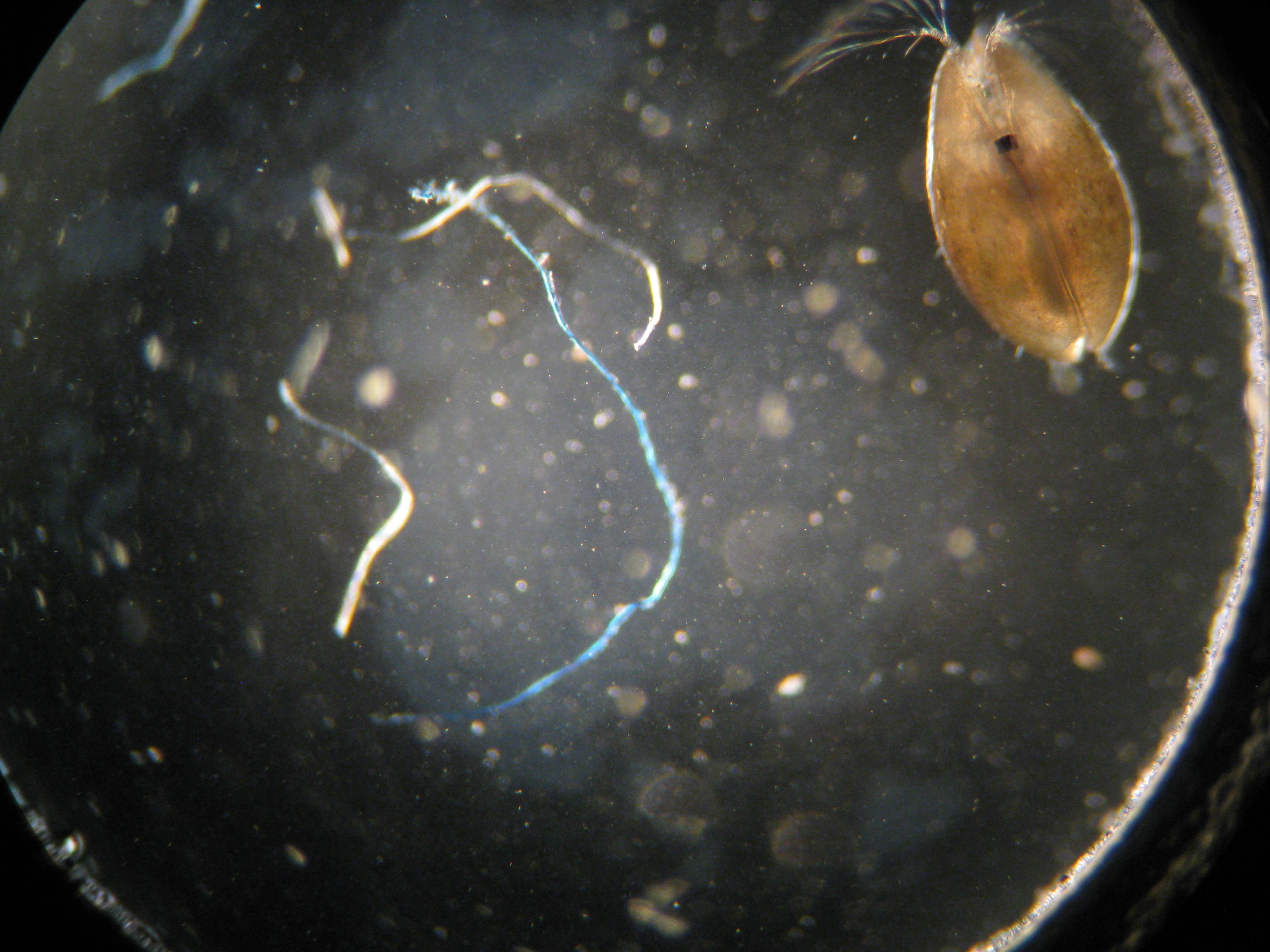 Ostracod at 40x using Canon SD850IS camera