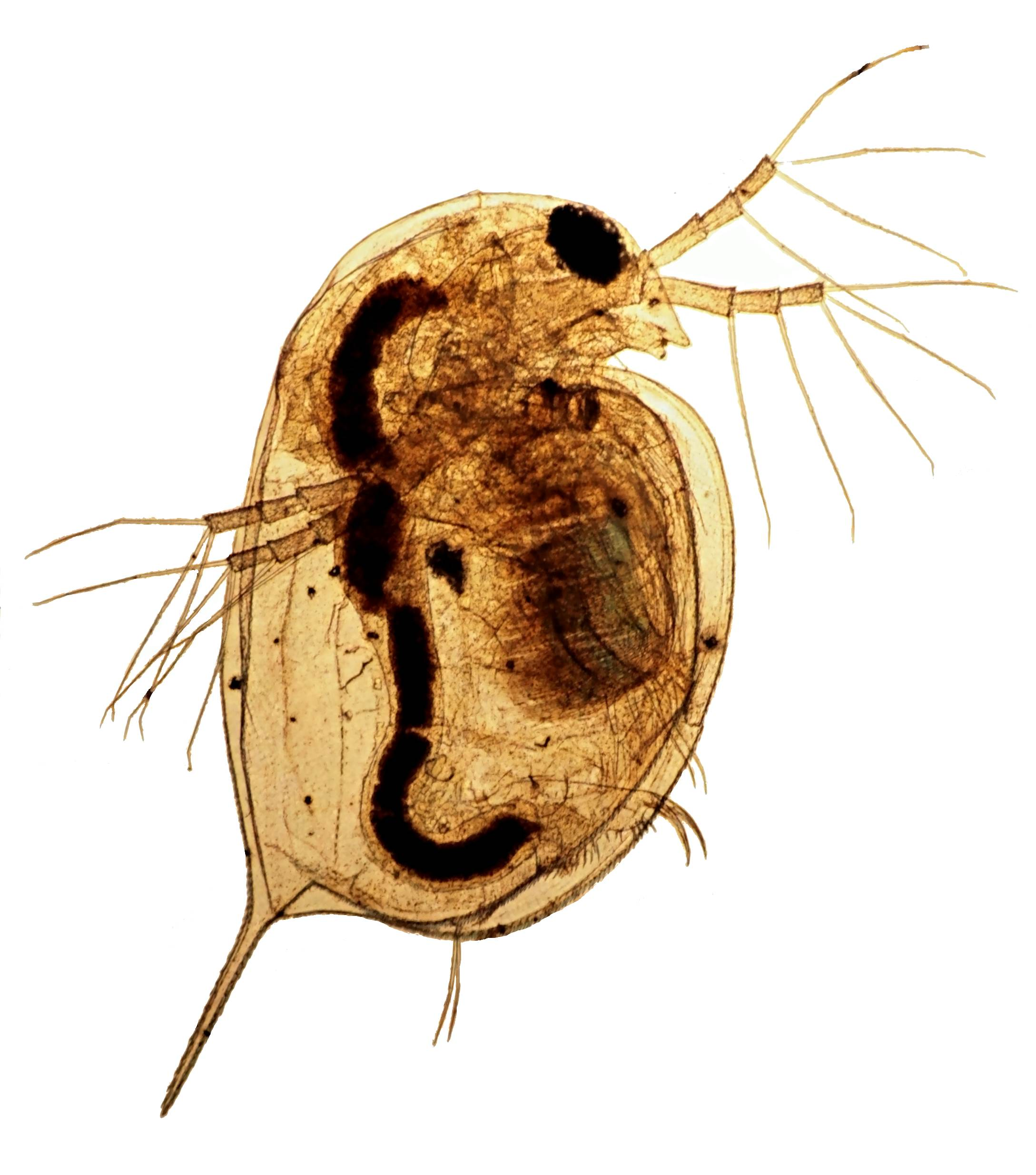 Stacked image of Daphnia