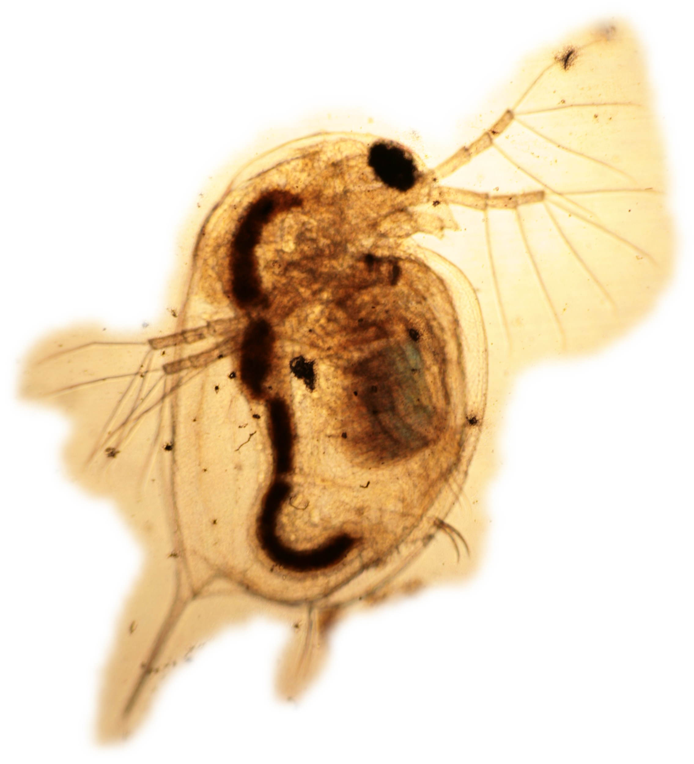 Focusing on the top of a Daphnia