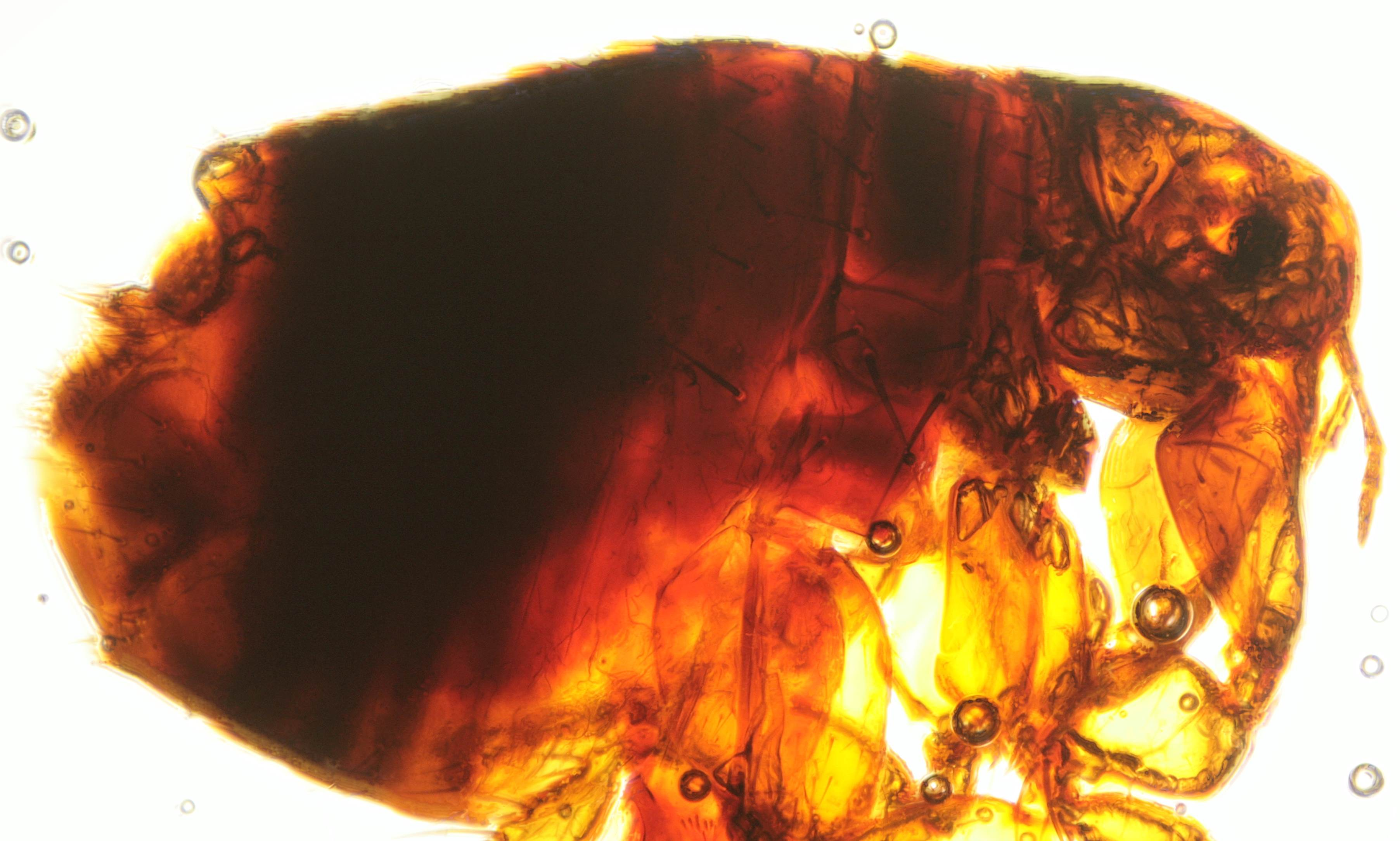 Final composite image of flea