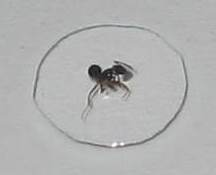 Closeup of Ant Millie in a drop of water