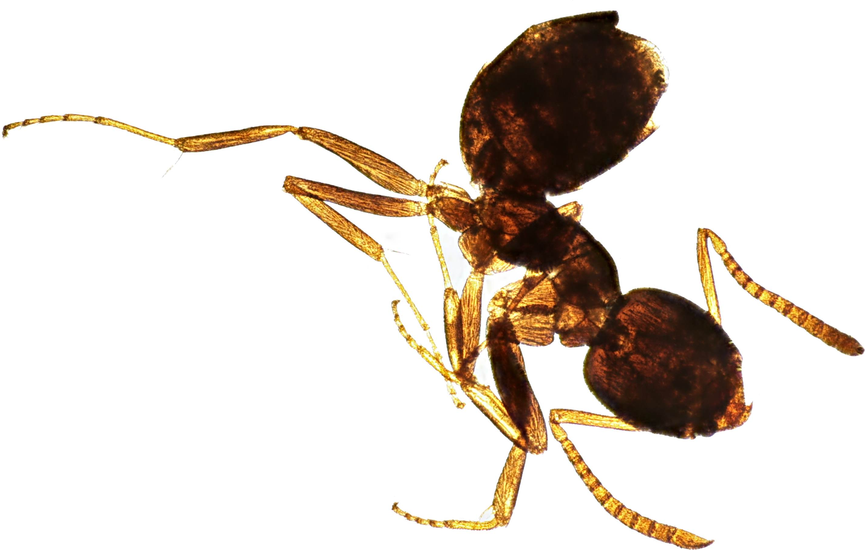 Ant Millie preserved in alcohol and fructose