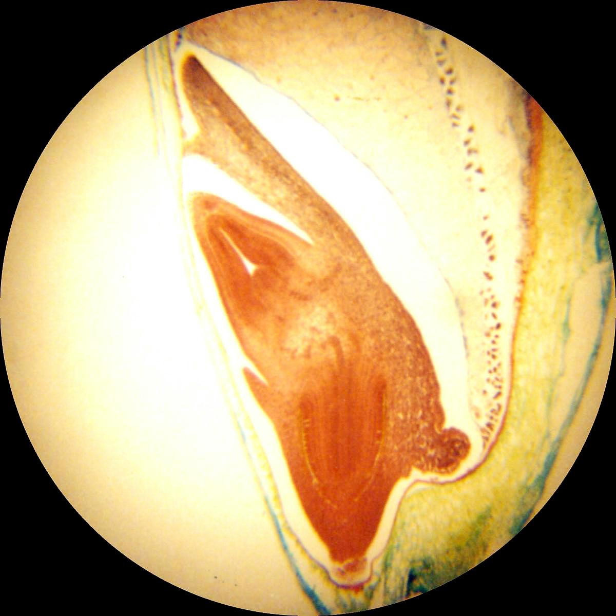 Wheat kernel 4x objective